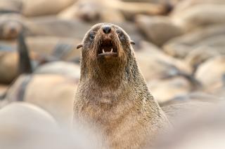 Cape Cross Seal